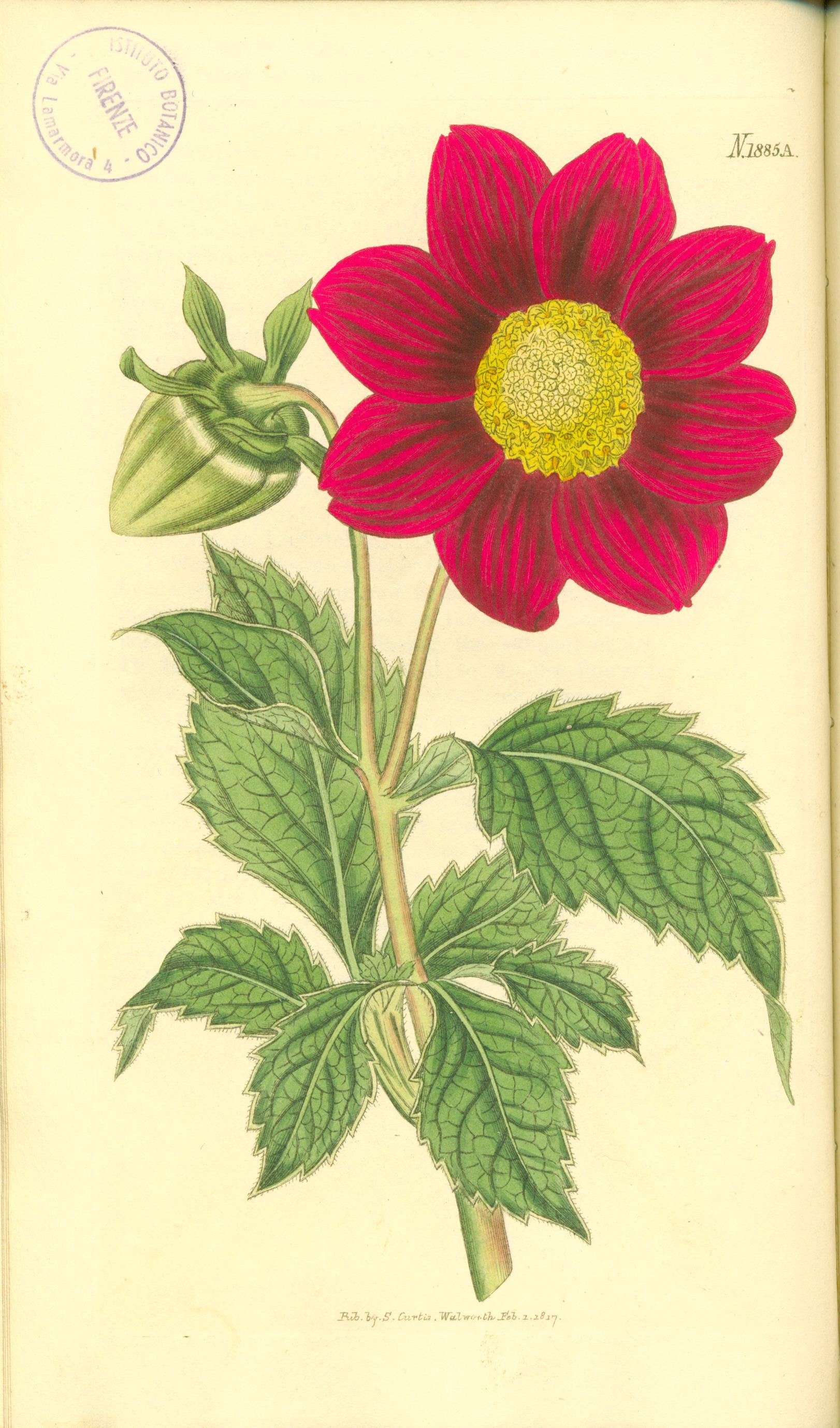 dahlia-superflua-crimson-flowered-1885a-in-bot-mag-1817