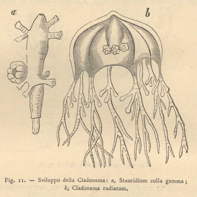 cladonema fig.11 p.176