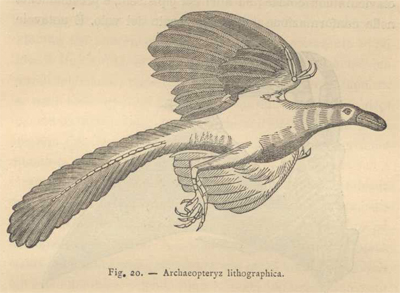 archaopteryz lithographica fig.20 p.261